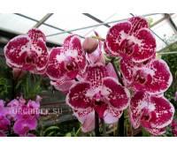 Phalaenopsis PH 115 Elegant Julia
