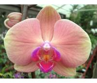 Phalaenopsis PH 124 OX Golden Apple hybrid