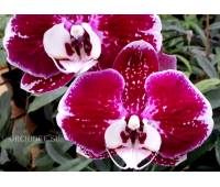 Phalaenopsis PH 138/1