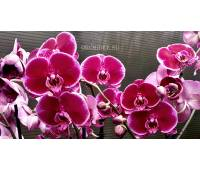 Phalaenopsis PH 142