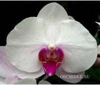 Phalaenopsis PH 143