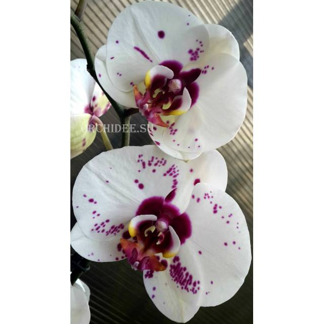 Phalaenopsis PH 146/1 Chian Xen Mammon