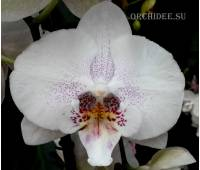Phalaenopsis PH 155