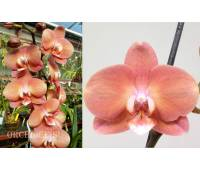 Phalaenopsis PH 170 Cobrion