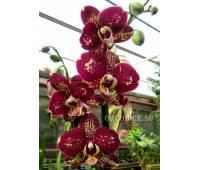 Phalaenopsis PH 174