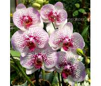 Phalaenopsis PH 177 Mansion