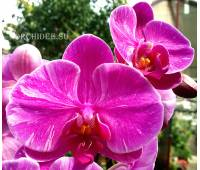 Phalaenopsis PH 179