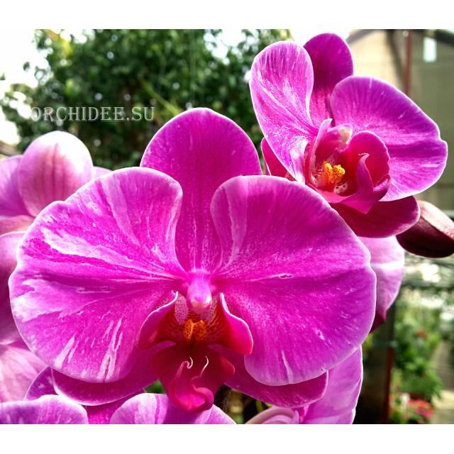 Phalaenopsis PH 179