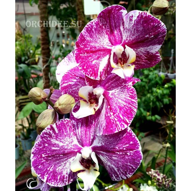 Phalaenopsis PH 180