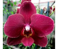 Phalaenopsis PH 189