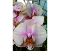Doritaenopsis PH 194 Lotion