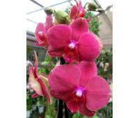Phalaenopsis PH 195
