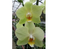 Phalaenopsis PH 197