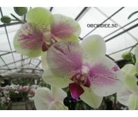 Phalaenopsis PH 216