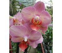 Phalaenopsis PH 220 'Salmion'