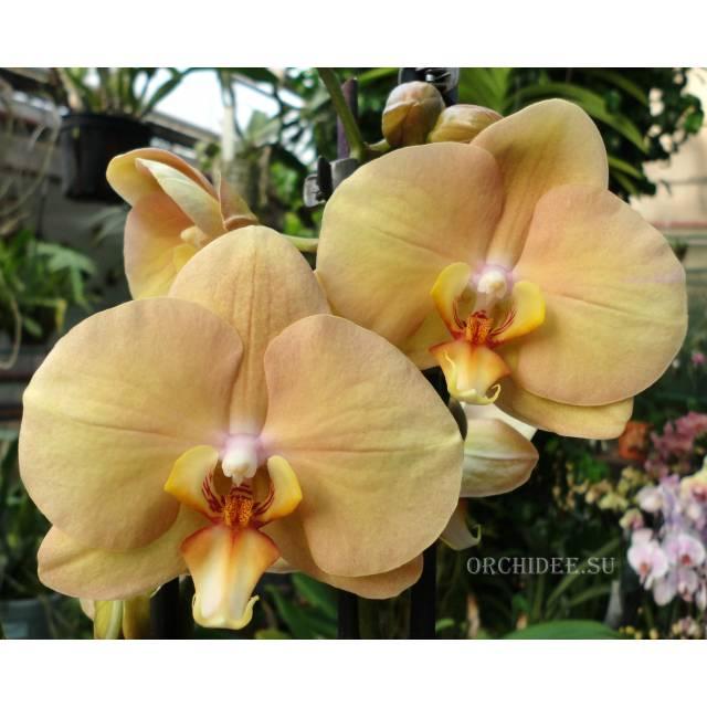 Phalaenopsis PH 223 Karina