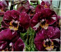 Phalaenopsis PH 225