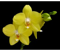 Phalaenopsis PH 230 I-Hsin Sunflower