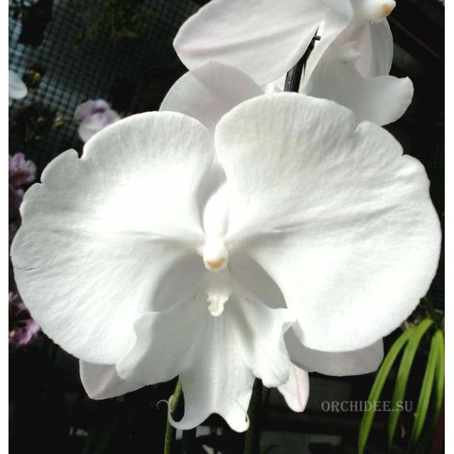Phalaenopsis PH 233 Big Lip