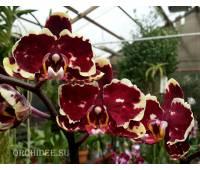 Phalaenopsis PH 169 Fire