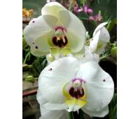 Phalaenopsis PH 091 Starry Night