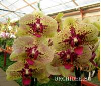 Phalaenopsis PH 113