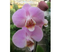 Phalaenopsis PH 210