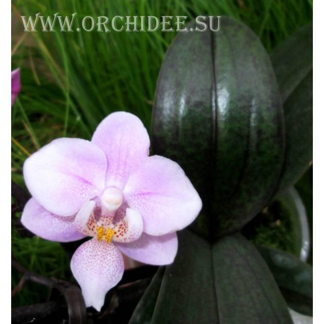 Phalaenopsis PHM 005 Jiahos Pink Girl Fragrance