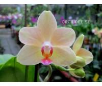 Phalaenopsis PHM 010