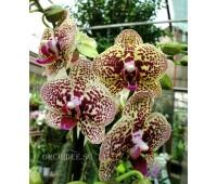 Phalaenopsis PHM 110/1