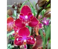 Phalaenopsis PHM 016 Chingruey's Peloric