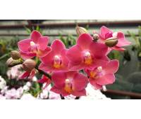 Phalaenopsis PHM 030