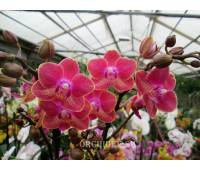 Doritaenopsis PHM 032 Chingruey's Goldstaff