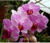 Doritaenopsis PHM 034 Sogo Vivien 'Pan Pan'
