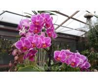 Doritaenopsis PHM 035 Sogo Yenlin 'Sweetheart'