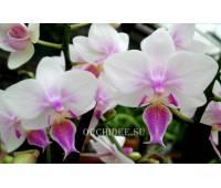 Phalaenopsis PHM 037 Sogo Twilight Rainbow