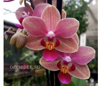 Phalaenopsis PHM 038