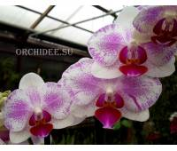 Phalaenopsis PHM 043