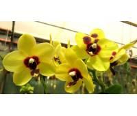 Doritaenopsis PHM 051 Yu Pin Natsume 'Tying Shin'