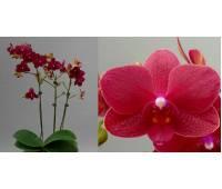 Doritaenopsis PHM 056 Sogo Buddie