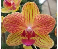 Phalaenopsis PHM 062 Geel