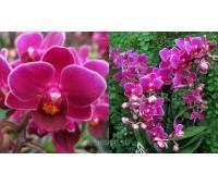 Doritaenopsis PHM 063 Sogo Berry 'Purple Princess'