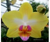 Doritaenopsis PHM 064 Taida Lawrence hybrid