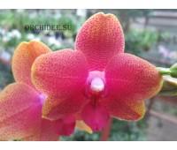 Phalaenopsis PHM 069