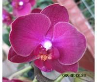 Phalaenopsis PHM 074 Sogo Lily