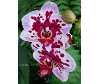 Phalaenopsis PHM 076 Rembrandt