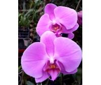 Phalaenopsis PH 080