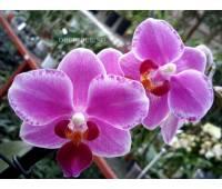 Phalaenopsis PHM 081