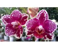 Phalaenopsis PHM 083