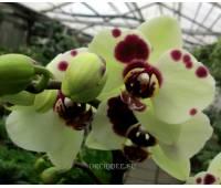 Phalaenopsis PHM 088 Theatro